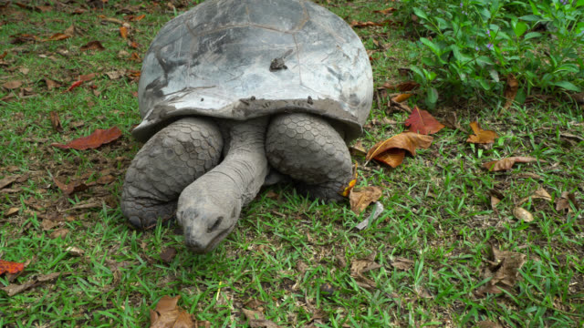 Giant tortoise of Seychelles Giant tortoise of Seychelles stands up to walk seychelles giant tortoise stock videos & royalty-free footage
