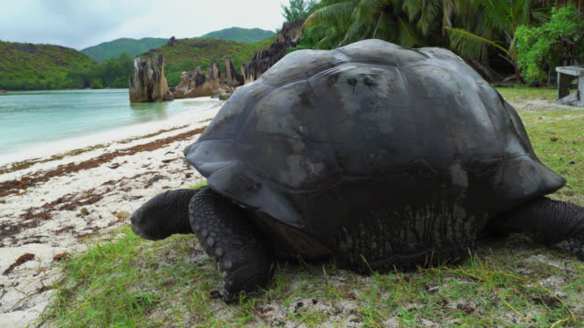 Giant tortoise of Seychelles Giant tortoise of Seychelles on a beach seychelles giant tortoise stock videos & royalty-free footage