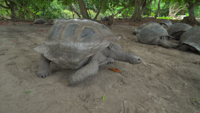 Giant tortoise of Seychelles Giant tortoise of Seychelles walking to a group of friends seychelles giant tortoise stock videos & royalty-free footage