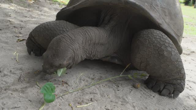 Giant tortoise of Seychelles Giant tortoise of Seychelles eating leaves seychelles giant tortoise stock videos & royalty-free footage