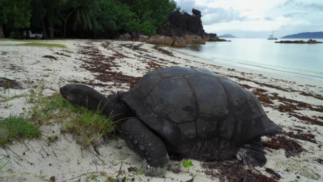 Giant tortoise of Seychelles Giant tortoise of Seychelles on a beach giant tortoise stock videos & royalty-free footage