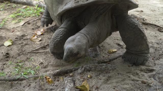 Giant tortoise of Seychelles Giant tortoise of Seychelles walks to have a rest seychelles giant tortoise stock videos & royalty-free footage
