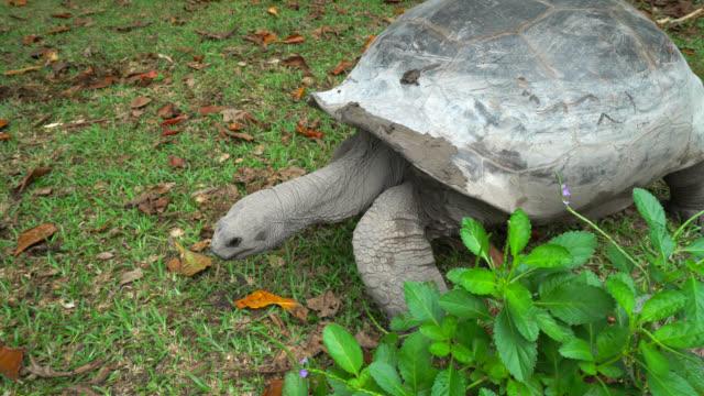 Giant tortoise of Seychelles Giant tortoise of Seychelles walking and eating grass giant tortoise stock videos & royalty-free footage