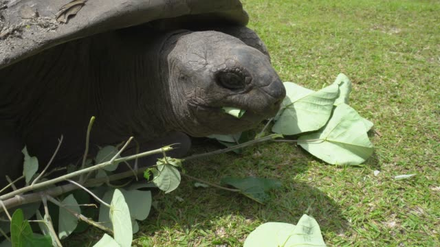 Giant tortoise of Seychelles Giant tortoise of Seychelles eating leaves giant tortoise stock videos & royalty-free footage