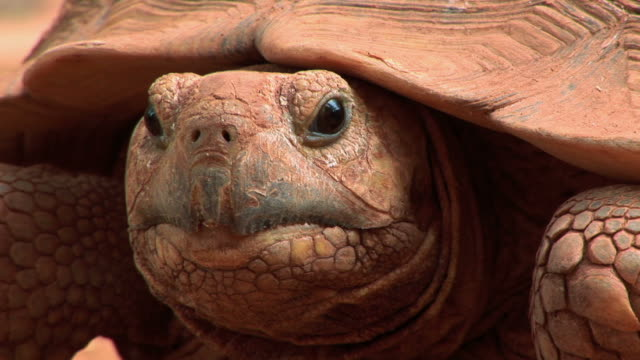 giant tortoise head of african giant turtle  tortoise stock videos & royalty-free footage