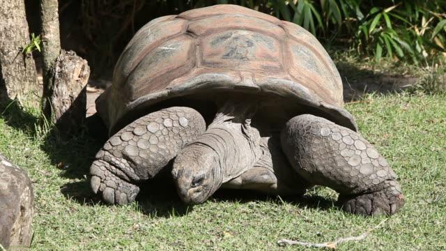 Giant Tortoise Seychelles giant tortoise. HD clip shot with Canon 5DMkII. seychelles giant tortoise stock videos & royalty-free footage