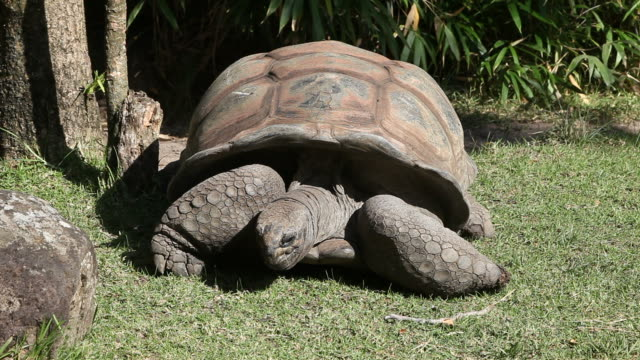 Giant Tortoise Giant Tortoise. HD clip shot with Canon 5DMkII. seychelles giant tortoise stock videos & royalty-free footage