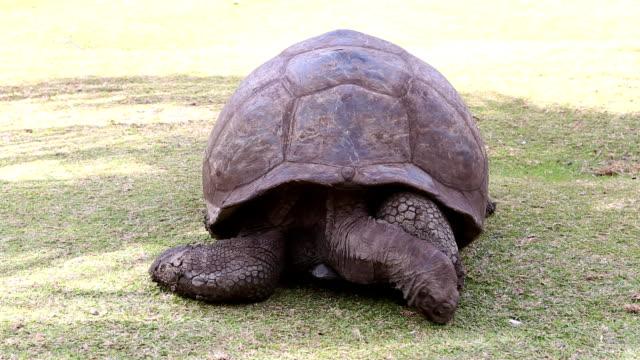 Giant tortoise Giant tortoise eating grass, Seychelles giant tortoise stock videos & royalty-free footage