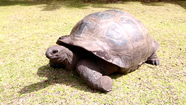 Giant tortoises at Curieuse Island, Seychelles Giant tortoises sun bathing at Curieuse Island, Seychelles giant tortoise stock videos & royalty-free footage