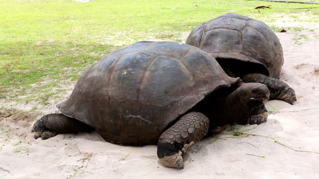 Giant tortoises at Curieuse Island, Seychelles Eating giant tortoises at Curieuse Island, Seychelles giant tortoise stock videos & royalty-free footage