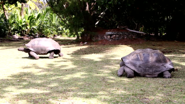 Giant tortoises at Curieuse Island, Seychelles Two giant tortoises at Curieuse Island, Seychelles giant tortoise stock videos & royalty-free footage