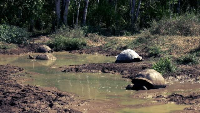 giant tortoises in a waterhole on isla santa cruz in the galapagos a number of giant tortoises escape the heat in a waterhole on isla santa cruz in the galapagos giant tortoise stock videos & royalty-free footage
