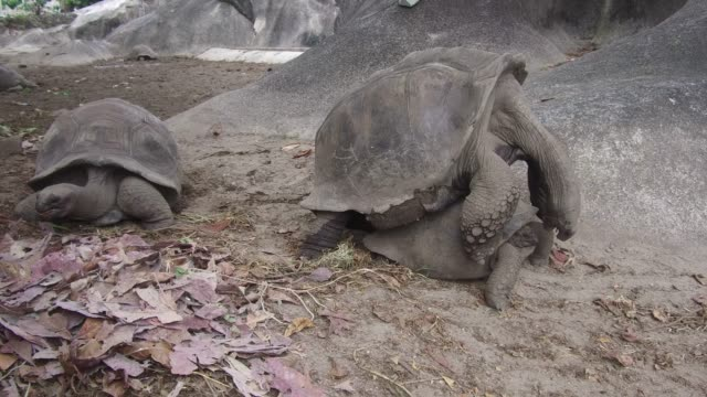 giant tortoises outdoors on seychelles animals, zoogamy, fauna and nature concept - giant tortoises outdoors on seychelles giant tortoise stock videos & royalty-free footage