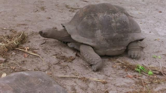 giant tortoises outdoors on seychelles animals, fauna and nature concept - giant tortoises outdoors on seychelles giant tortoise stock videos & royalty-free footage