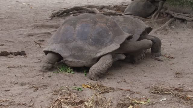 giant tortoises outdoors animals, fauna and nature concept - giant tortoises outdoors giant tortoise stock videos & royalty-free footage