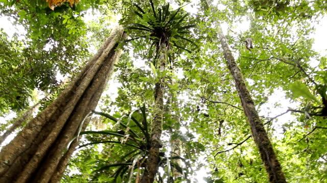 grande albero nella foresta pluviale tropicale - alto video stock e b–roll