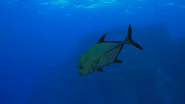 Giant trevally jack fish close to camera video