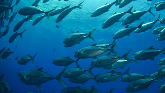 Giant trevally schooling undersea in Southeast Asia video