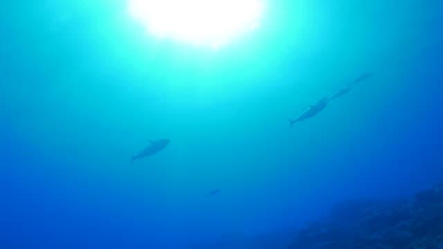 Giant tuna fish swimming under sea surface video