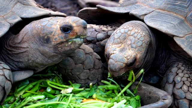 Giant turtle eating vegetable food Giant turtle eating vegetable food footage slow motion seychelles giant tortoise stock videos & royalty-free footage