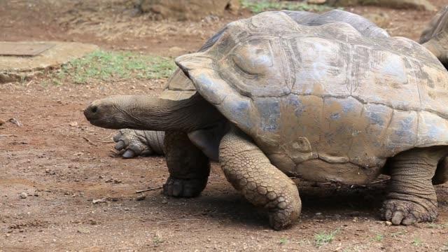tartarughe giganti, dipsochelys gigantea nell'isola mauritius - isole mauritius video stock e b–roll