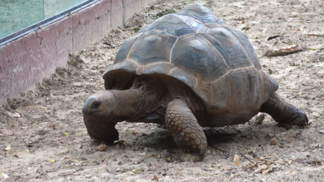 Giant turtles walking Giant turtles walking tortoise stock videos & royalty-free footage