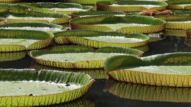 giant water lily in botanical garden. island mauritius . victoria amazonica, victoria regia - lilia filmów i materiałów b-roll