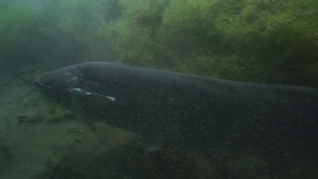 giant wels catfish swims in freshwater lake - siluriformes video stock e b–roll