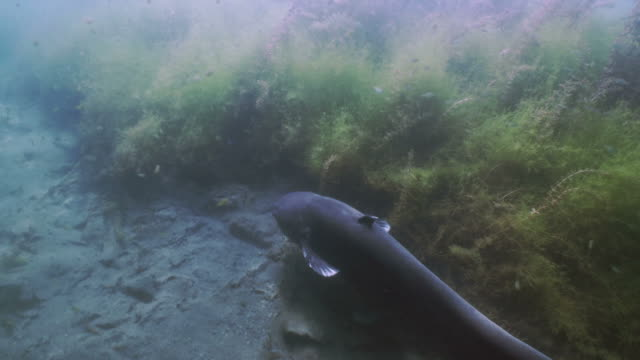 giant wels catfish swims in lake landscape, underwater shot - siluriformes video stock e b–roll