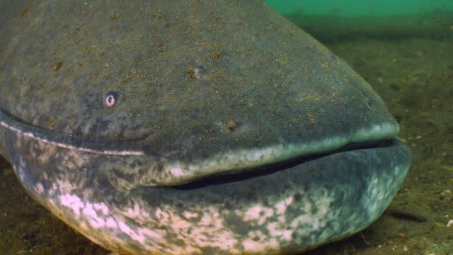 giant wels catfish swims, underwater shot - siluriformes video stock e b–roll
