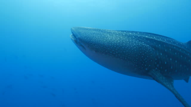 Giant Whale Shark is closing to camara (4K->FHD) Giant Whale Shark is closing to camara in Sipadan, Malaysia on Feb, 2015.  aqualung diving equipment stock videos & royalty-free footage