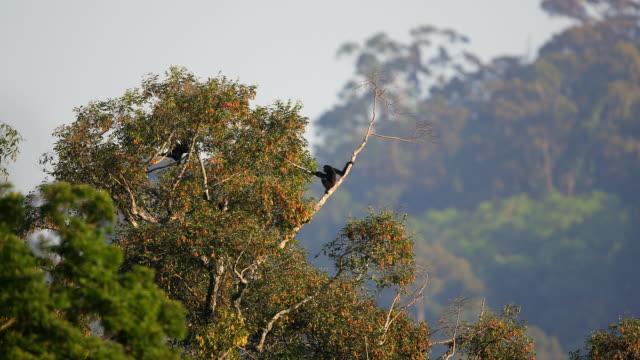 gibbon : gibbone agile adulto (hylobates agilis) - gibbone video stock e b–roll