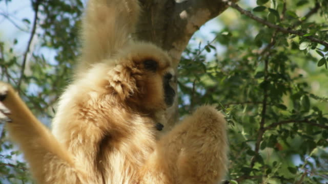 гиббон обезьяна обезьяна в лес дерево. - гиббон стоковые видео и кадры b-roll