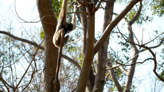 gibbon climb on tree