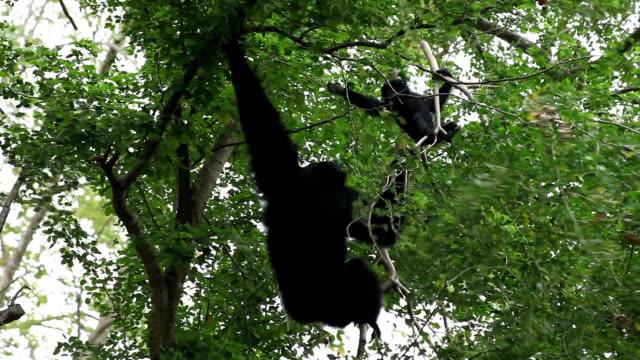gibbon climbing on a tree - gibbon människoapa bildbanksvideor och videomaterial från bakom kulisserna