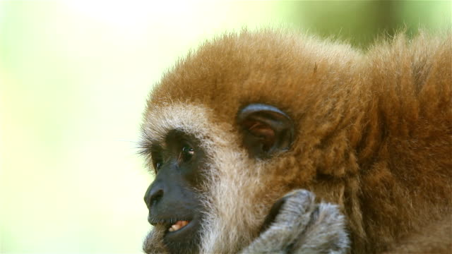 gibbon close- up face video
