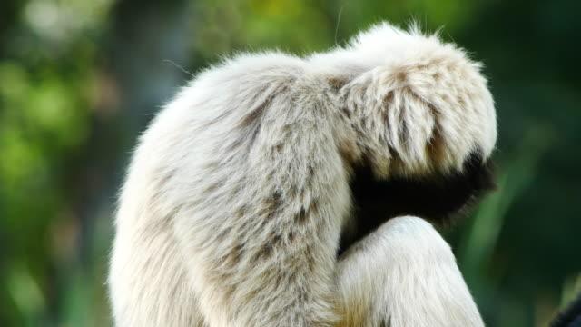 colpo ravvicinato di gibbon - gibbone video stock e b–roll