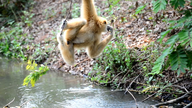 Gibbon drinking water video
