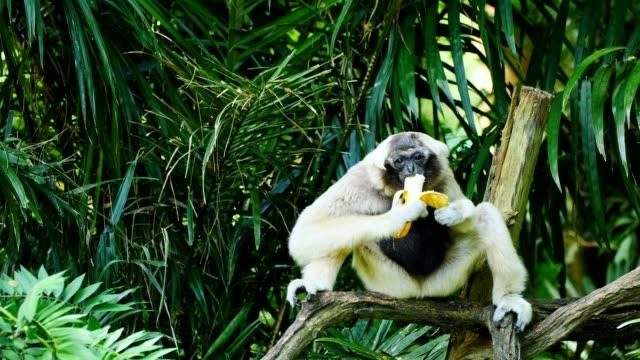 Gibbon eating banana.