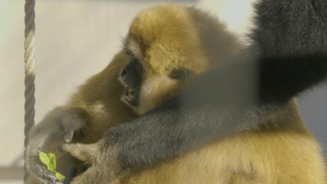 gibbon eating greens video