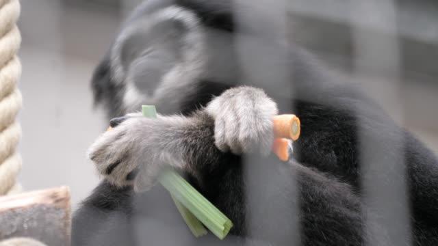gibbon eating veggies - gibbone video stock e b–roll