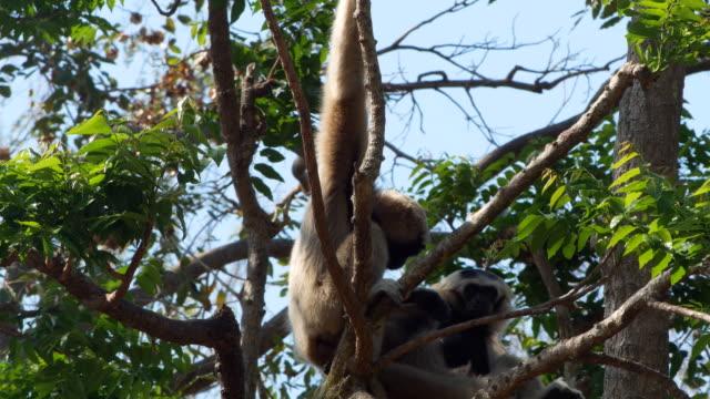 gibbon familj på träd - gibbon människoapa bildbanksvideor och videomaterial från bakom kulisserna