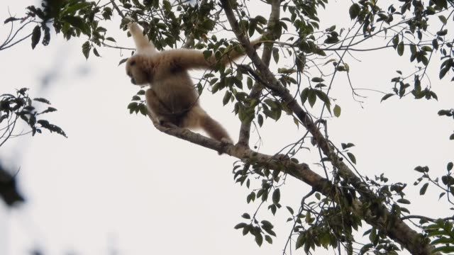 Gibbon family swing on trees back home in twilight.