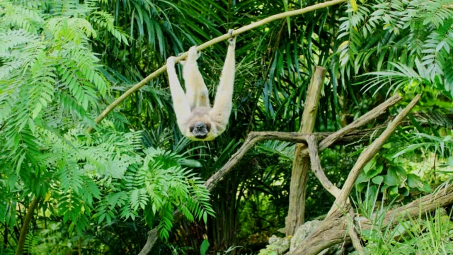 gibbon hanging on tree. - гиббон стоковые видео и кадры b-roll