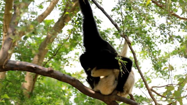 gibbone in una struttura ad albero. - gibbone video stock e b–roll