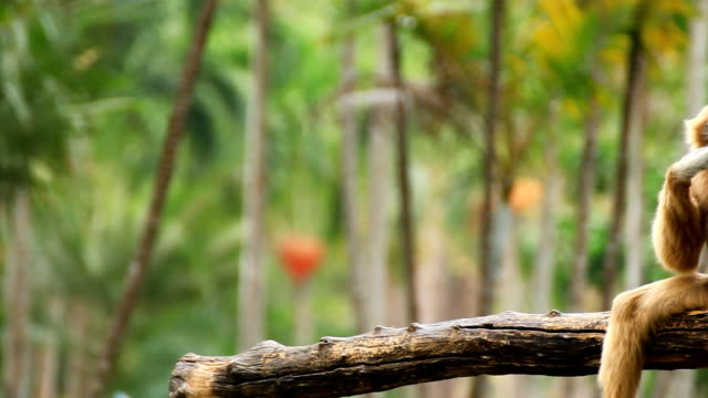 Gibbon in einem Baum. – Video