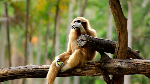 Gibbon in a tree. video