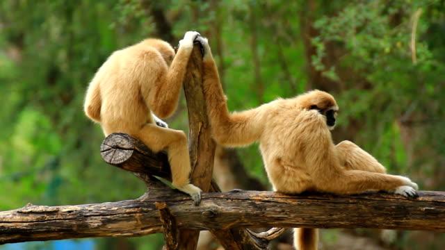 gibbone nella struttura ad albero. - gibbone video stock e b–roll