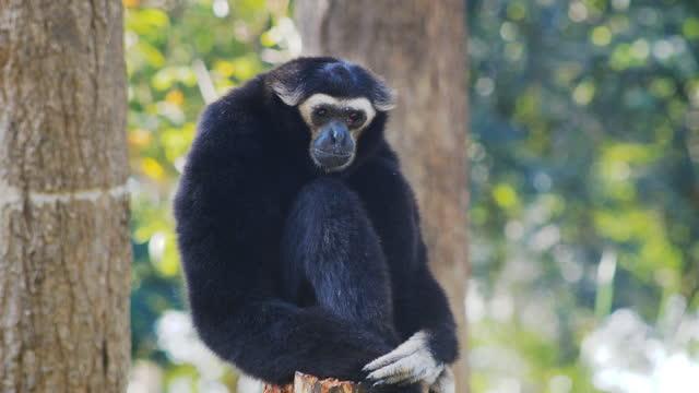 gibbon guarda la fotocamera - gibbone video stock e b–roll