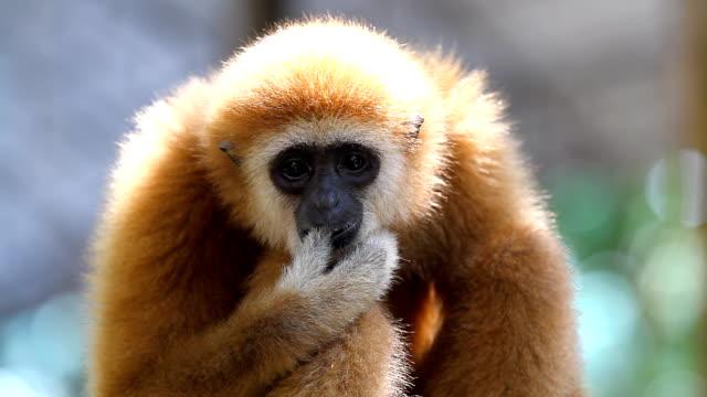 scimmia gibbone - gibbone video stock e b–roll